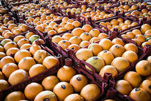 توزیع میوه با قیمت دولتی برای تنظیم بازار شب عید در بناب