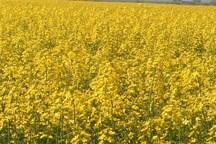 سه هزار و 595 هکتار زمین کشاورزی در شوشتر به زیرکشت کلزا رفت