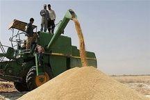 ۱۵۴۰ تن گندم و کلزا در محلات خرید تضمینی شد
