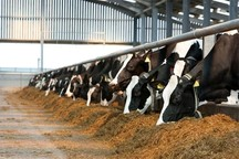 پسماندهای کشاورزی خوراک دام ها می شود