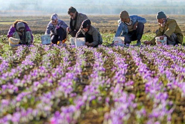 کشت گیاهان دارویی در زرند فرصت های جدید شغلی را رقم زد