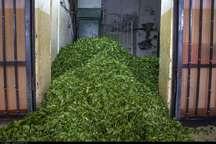 بیش از 47هزار تن برگ سبز چای از چایکاران شمال خریداری شد