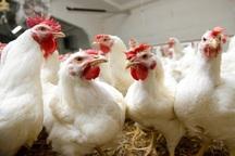 امسال آنفلونزای پرندگان در آذربایجان غربی مشاهده نشده است
