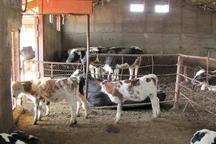 پرورش گاوهای سیمینتال در میانه گسترش می یابد