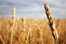 افزایش قیمت تضمینی از هدر رفتن گندم جلوگیری می کند