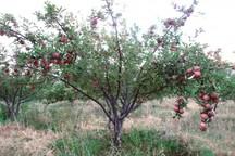 14 هزار هکتار باغ  سیب در سمیرم با خطر خشک شدن مواجه است