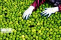 لیموترش گلخانهای گلستان برای نخستین بار به بازار میآید