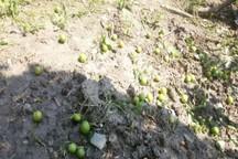 گرما ، ریزش میوه درختان مرکبات مازندران افزایش داد