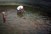 50 هزار قطعه ماهی در استخرهای کشاورزی آذربایجان غربی رها شد