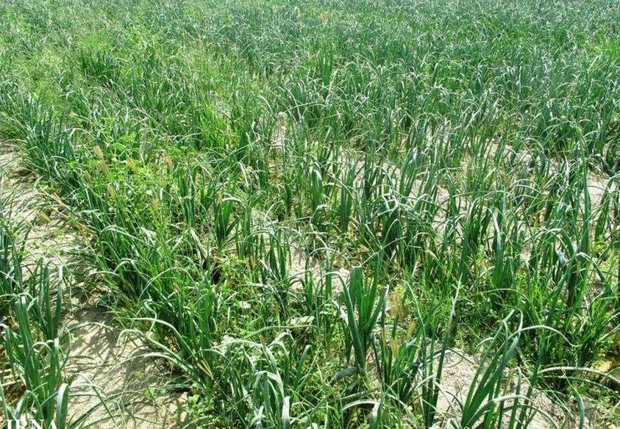 نقشه برداری 42 هزار هکتار زمین کشاورزی چابهار در حال اجراست