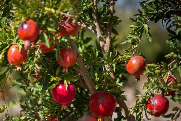 500 میلیارد ریال برای احیای باغ های انار ساوه پرداخت شد