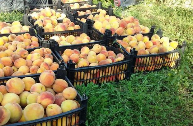 178 هزار تن محصولات باغی در شهریار تولید می شود