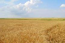 کشاورزان کلاله آماده برداشت گندم در بیش از 57 هزار هکتار هستند