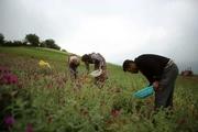 کمک 85 درصدی دولت به کشت گیاهان دارویی درمازندران