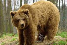 خرس وحشی پیرمرد لردگانی را زخمی کرد