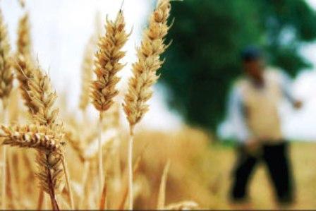 برداشت گندم از 29 هزار هکتار اراضی زیر کشت استان سمنان آغاز شد