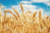 97 هزار تن گندم در استان مرکزی خریداری شد