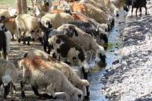 نقش پررنگ گوسفندان در تولید گوشت قرمز خوزستان