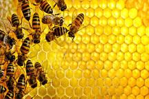 رشد 61 درصدی تولید عسل در استان زنجان