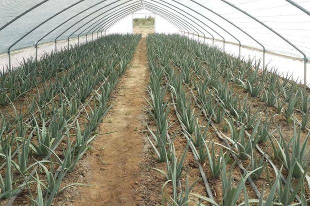 کشت گیاه دارویی آلوئه ورا در دامغان توسعه می شود