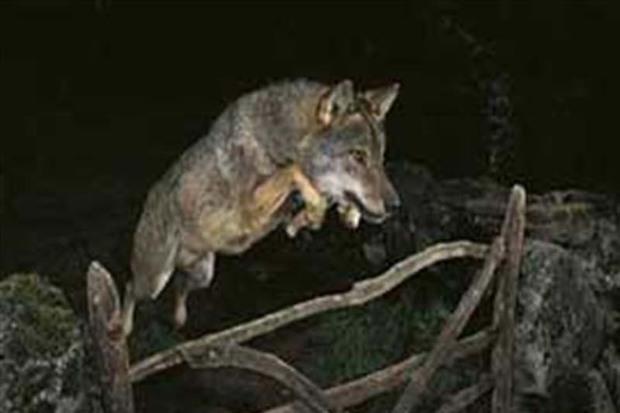 17 گوسفند در حمله گرگ ها در سردشت تلف شدند
