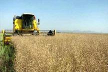 برداشت دانه روغنی کلزا در ایرانشهر آغاز شد