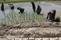 تفاوت قیمت عامل استقبال از کشت برنج در خشکسالی است