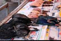 آنفلوآنزا در کمین است   مردم از مصرف گوشت پرندگان مشکوک خودداری کنند