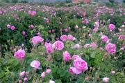 کشت گلمحمدی در نیشابور 35 هکتار افزایش یافت