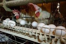 31 هزار تن تخم مرغ در خراسان رضوی تولید شد