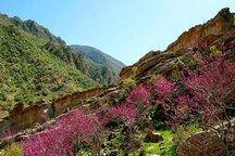 دره ارغوان ایلام، لبخند سرخ شکوفه بر طبیعت