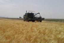 برداشت گندم در 9 هزار هکتار از مزارع سیستان و بلوچستان انجام شد