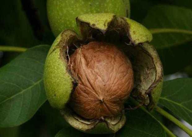 خودنمایی سلطان میوه شهریورماه رابر