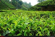 صادرات چای خشک ایرانی به ۱۱ کشور جهان