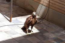 رهاسازی یک بهله پرنده شکاری در طبیعت سلسله