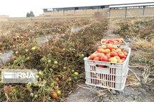بازار گوجهفرنگی در آذربایجانغربی متعادل میشود