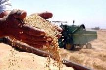 19 هزار تن گندم از کشاورزان مهابادی خریداری شد