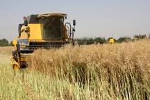 پیشبینی برداشت 75 تن دانه روغنی کلزا از مزارع شهرستان ساوجبلاغ