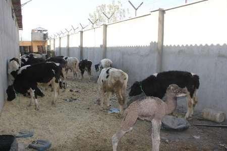 کشف احشام 2 میلیارد ریالی در سراوان سیستان و بلوچستان