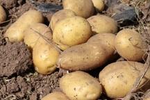بیش از 1200 تُن سیب زمینی در شاهین دژ تولید شد