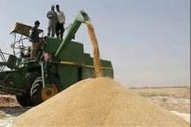 بیش از 18 هزار تن گندم به مراکز خرید در شیروان تحویل شد