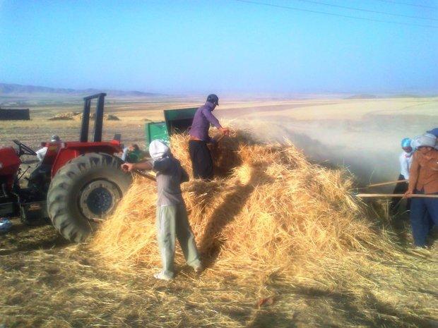 مزارع گندم  ایلام پربار تر از سال های قبل هستند