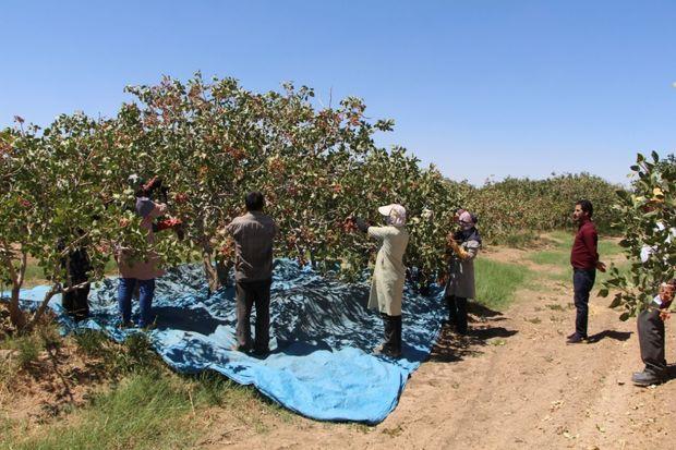 باغداران جوینی هفت هزار تن پسته برداشت کردند