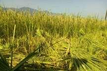 اولین برداشت برنج درشهرستان املش آغازشد