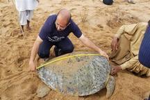 پلاک گذاری و پایش زیستگاه لاک پشتها در چابهار در حال اجراست