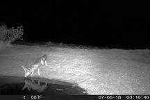 نخستین شاه روباه در پناهگاه حیات وحش یخاب مشاهده شد