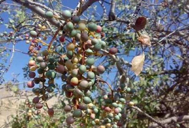 «گون» گیاهی دارویی و خوراکی در سیستان و بلوچستان