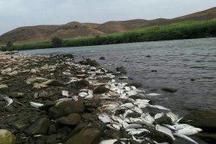 احتمال اتلاف ماهیهای ارس با مواد سمی زیاد است