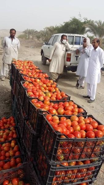 برداشت گوجه فرنگی خارج از فصل از مزارع در بخش مرکزی نیکشهر