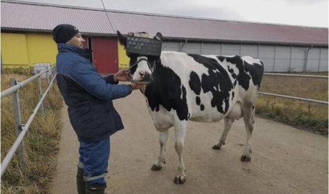 کمک عینک واقعیت مجازی برای افزایش شیردهی گاوها